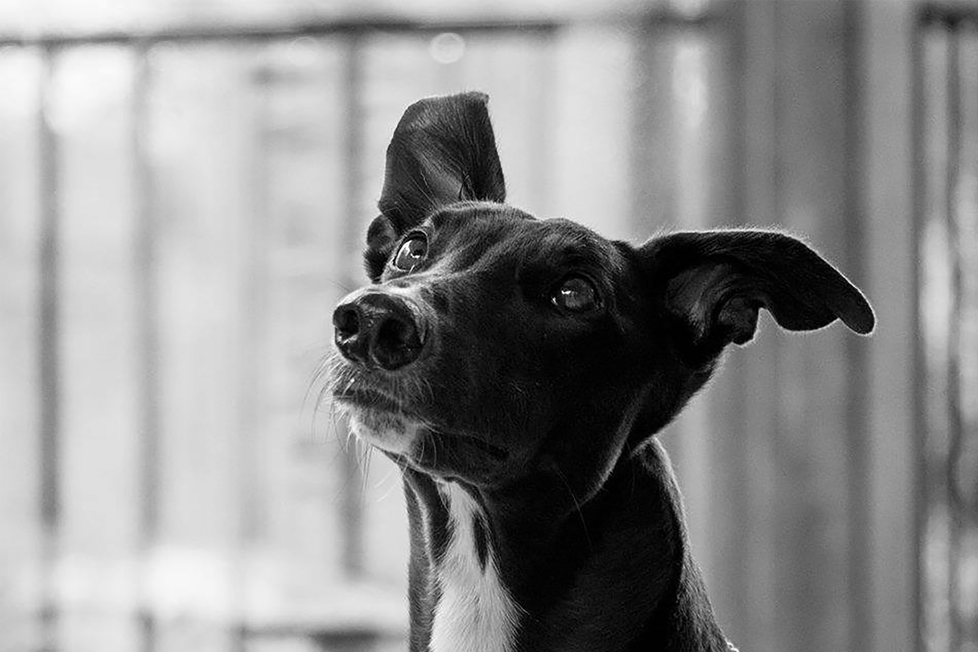Sweet Black Greyhound