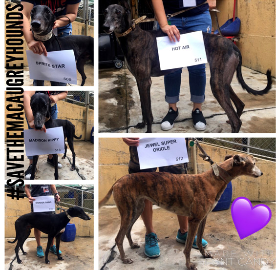 Save the Macau Greyhounds