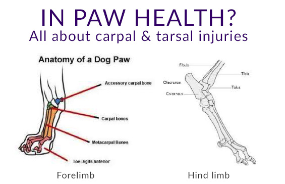 In paw health? Carpal & tarsal injuries