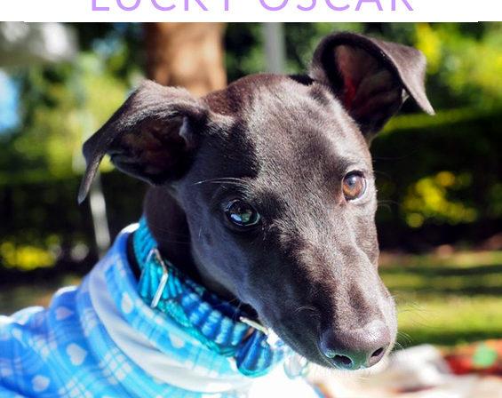 Oscar the tripaw Greyhound pup