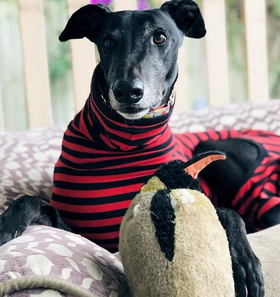 Greyhound in stripey tshirt
