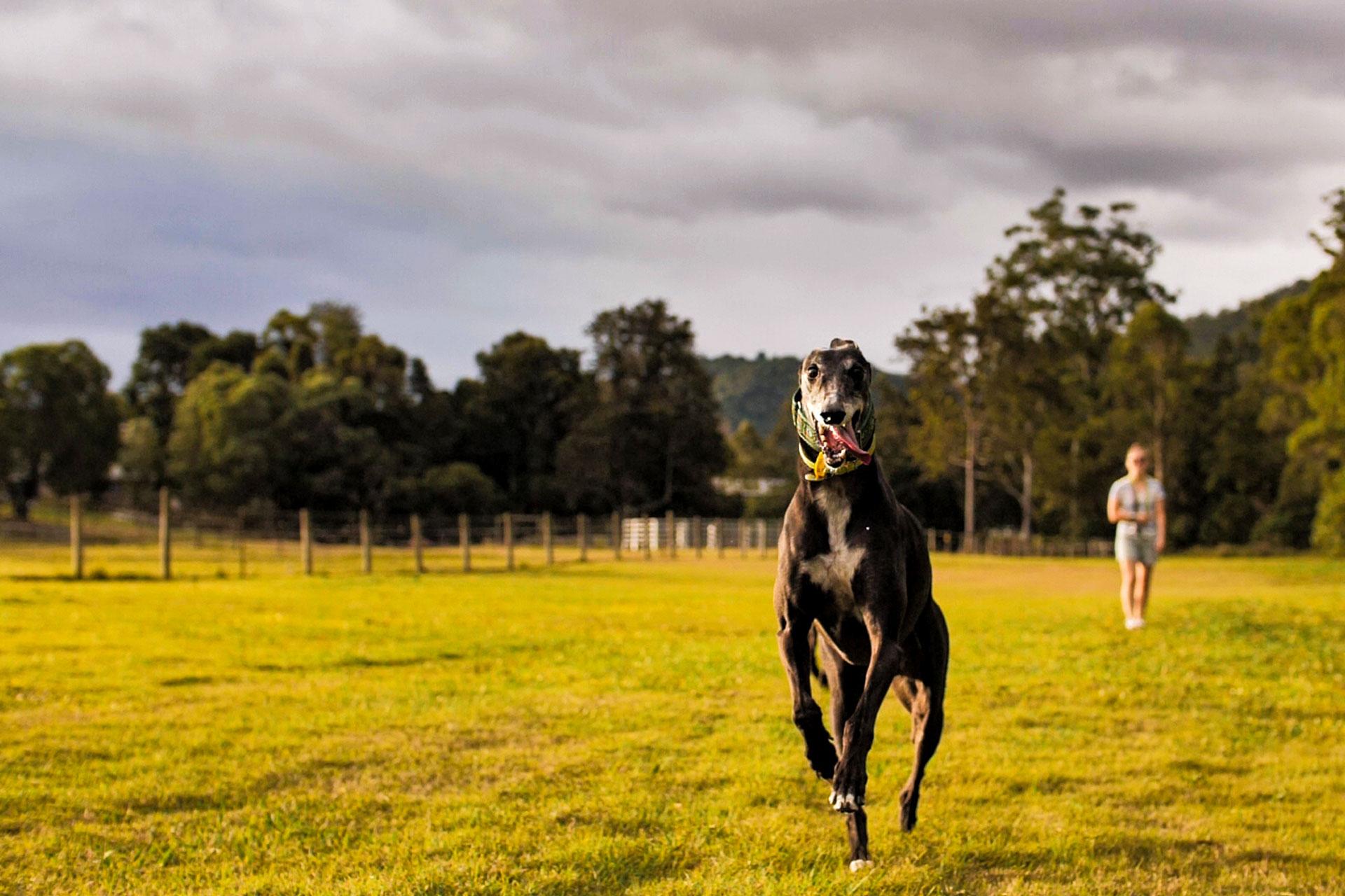 Black running hound